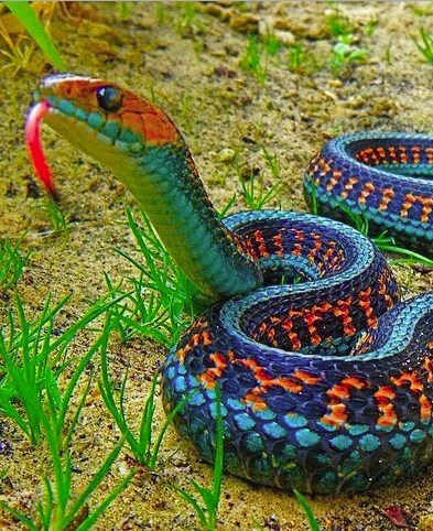 Snake Colors
